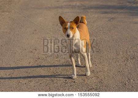 Basenji dog standing on an asphalt road and looking with interest