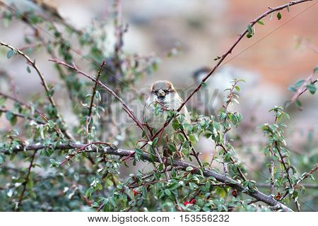 little gray sparrow sitting on a twig thorn bush in the city center