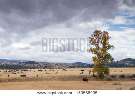 A heard of bison on the open plains of the Grand Teton National Park