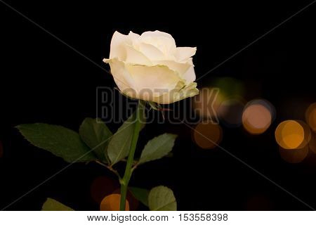 Rosa On The Background Lights