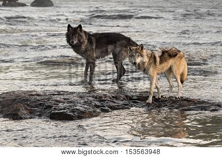 Two Grey Wolves (Canis lupus) Look Up from River - captive animals