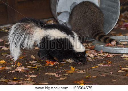 Skunk (Mephitis mphitis) Walks Past Raccoon (Procyon lotor) in Trash - captive animals