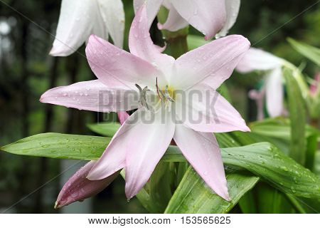 Amaryllis Belladonna Lily close-up shot in a garden on Madeira against blurred background
