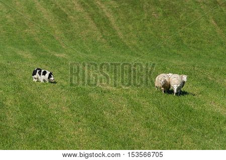 Sheep Dog Herds in Group of Sheep (Ovis aries) - sheep dog herding trials