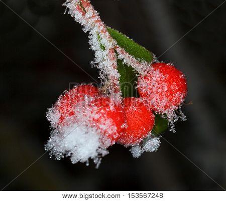Morning hornfrost on barberry - Berberis thunbergii