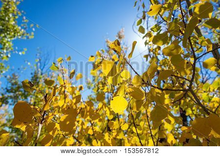 Yellow Aspen Leaves Closeup