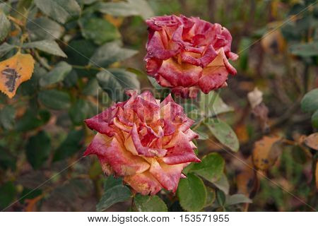 Two Corall Withered Roses in Autumn Garden.