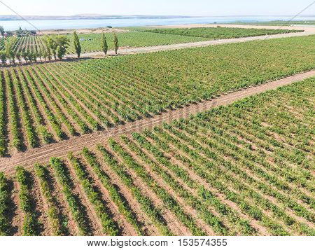 Grape Orchards Bird's-eye View. Vine Rows. Top View On The Garden On A Background Of The Estuary