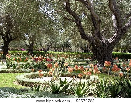 Agave and olive trees in Bahai garden near Akko Israel May 11 2004
