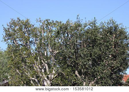 This is an image of freshly trimmed Oak trees in Carmel, California.