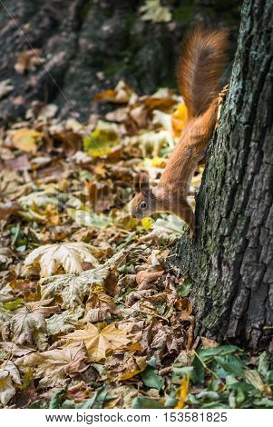 Wild red squirrel on a tree in the Park in autumn