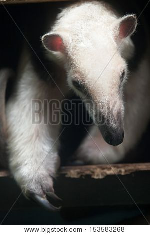 Southern tamandua (Tamandua tetradactyla), also known as the collared anteater or lesser anteater. Wildlife animal.