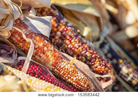 Closeup of Indian Corn in autumn shallow depth of field.