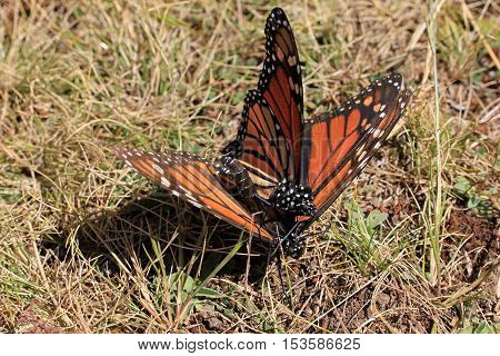 Monarch Butterflies mating in Michoacan, Mexico, millions are migrating every year and waking up with the sun.