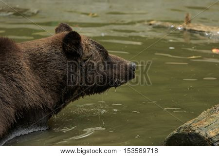 Big brown bear close-up in the water with drips flowing down on his fur