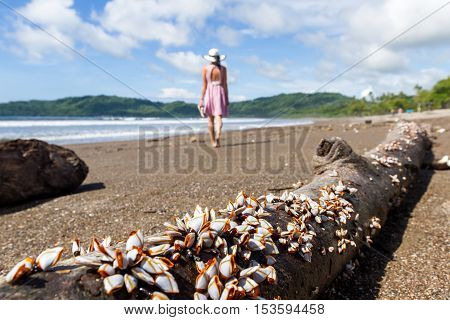 cluster of mussels on a piece of drift wood in the pacific coast of Costa Rica