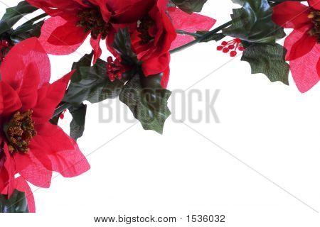 Poinsettias Background Over White