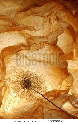 Decorative image with dry Clematis alpina ovary
