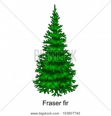 Christmas vector tree like fraser fir for New year celebration without holiday decoration, evergreen xmas plants.