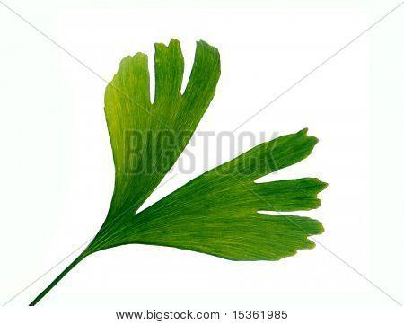Isolated leaf of Gingko biloba