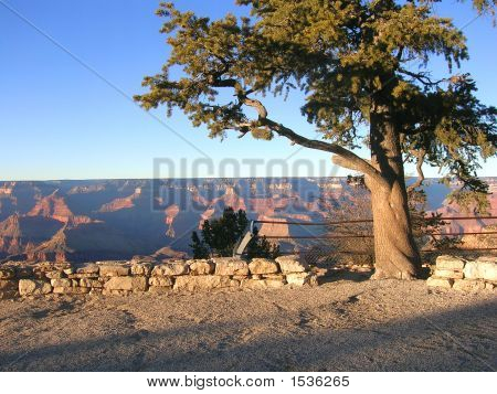 Pine Tree In Front Of Grand Canyon