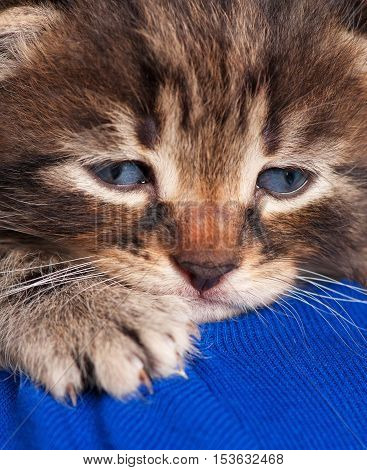 Cute little kitten in the human's shoulder over blue background