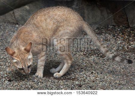 Arabian wildcat (Felis silvestris gordoni), also known as the Gordon's wildcat. Wildlife animal.
