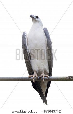 White-bellied Sea-eagle White-bellied Fish-eagle White-breasted Sea on white background (Haliaeetus leucogaster)
