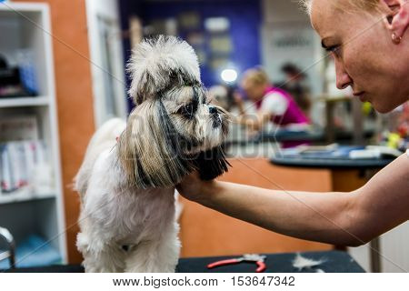 shih tzu dogs in professional hairdresser hairstyle