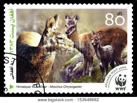 STAVROPOL RUSSIA - October 27 2016: A stamp printed in Afganistan shows Himalayan Musk Deer (Moschus Chrysogaster) Zoo Animals circa 2004