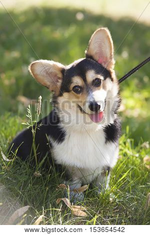 young welsh corgi pembroke