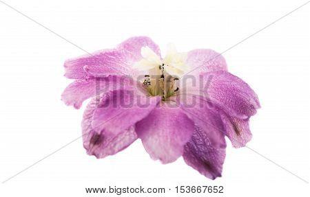 summer violet delphinium flower isolated on white