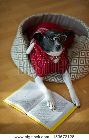 Black and white dog wearing glasses and red suit on his couch in the middle of an empty room. She put her paws on an open book as if reads. This is a joke dog owners.