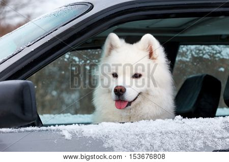 white dog Samoyed sitting in the car