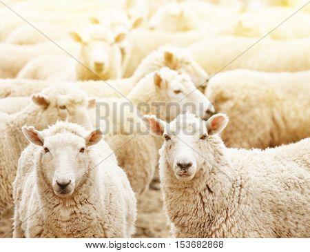 Livestock farm, flock of sheep