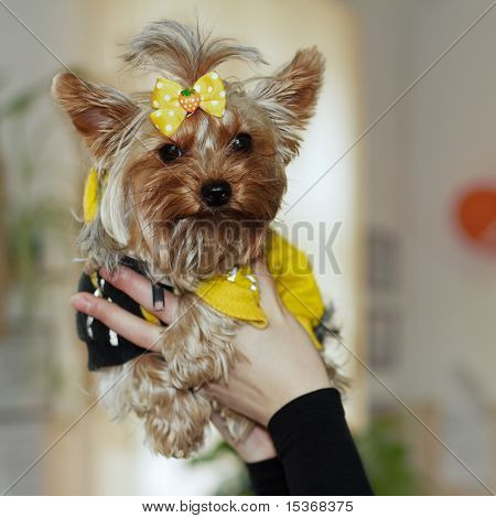 Dog Yorkshire Terrier In The Arms Of Mistress