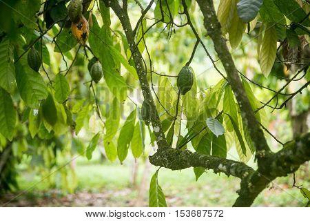 Unripe Cocoa pods in Ogun State, Nigeria