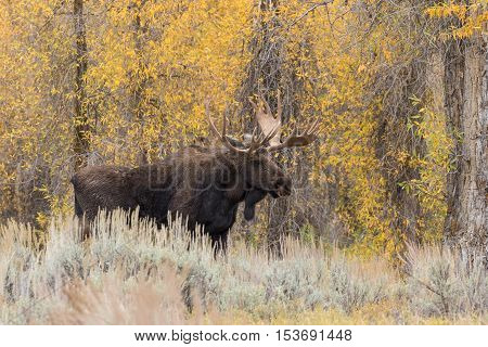 a big bull shiras moose during the fall rut