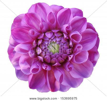 Dahlia flower pink green center white background isolated with clipping path. Closeup. with no shadows. Nature.