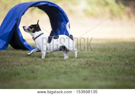 Dog, Jack Russell Terrier, running at agility