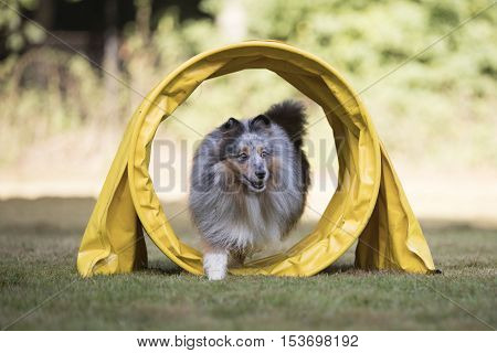 Shetland Sheepdog Sheltie running in agility tunnel