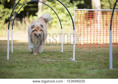 Dog, Scottish Collie running in hooper competition