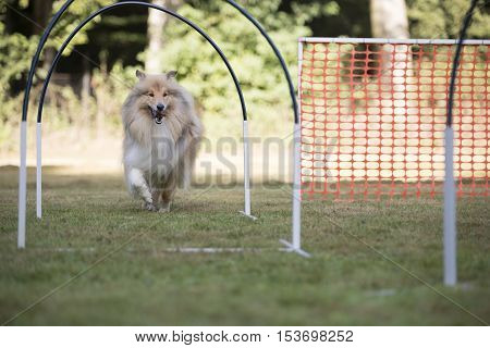 Dog, Scottish Sheepdog running in hooper training