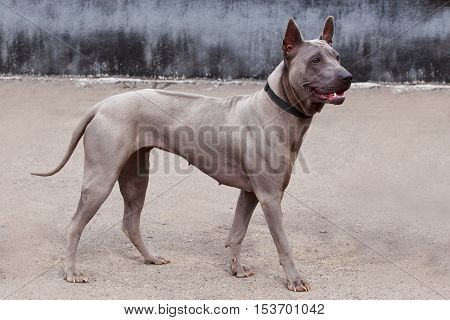 dog breed Thai Ridgeback is walking on open air