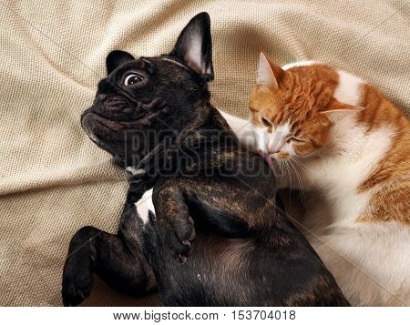 The cat licks a surprised funny dog