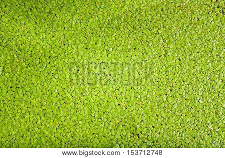 duckweed flowering plants floats in water for background texture with copy space.