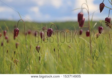 A field of red/purple snake's heads (Fritillaria meleagris) with shallow depth of field.
