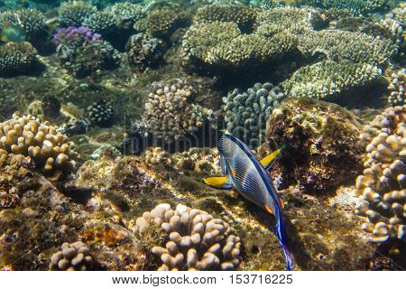 Lined surgeonfish swimming over the corals. Red sea. Egypt.