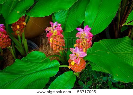 Red and pink galangal Flower in garden with leaves in dark and light tone for background.