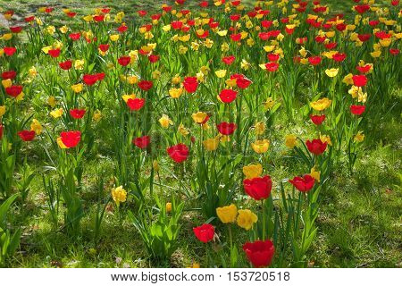 Tulips field with red and yellow flowers
